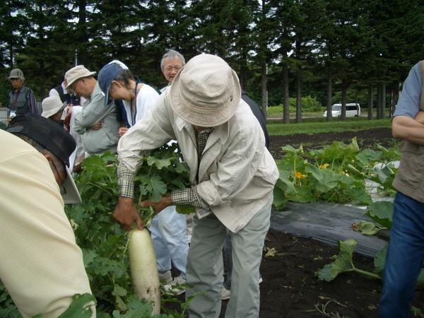 写真2-ダイコンの収穫.JPG